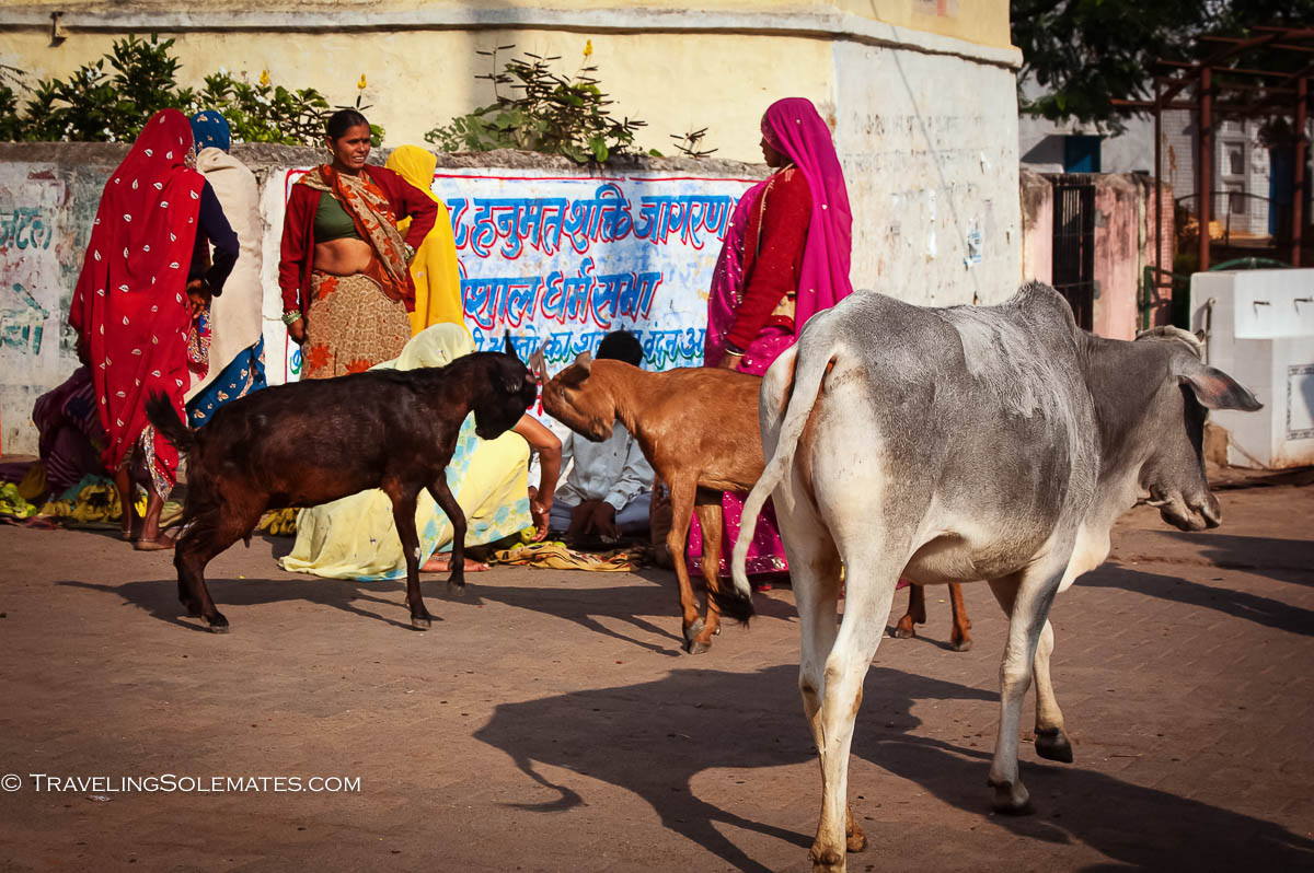 Women, goats and cow at the market, Orchha, India