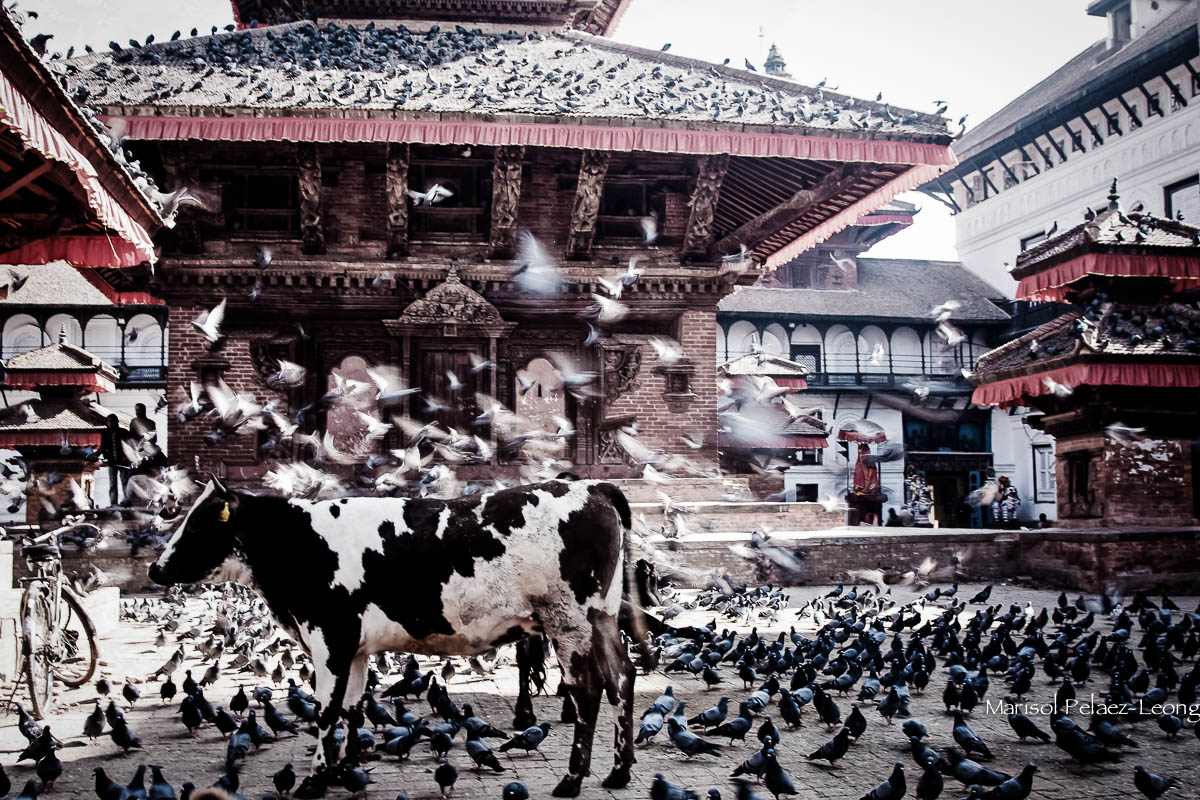 Cows and pigeons in Durbar Square, Kathmandu, Nepal