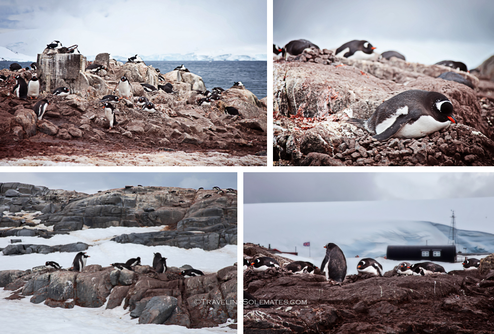 Penguins in Lougla Point, Port Lockroy, Antarctica., Natioanal Geographic Expeditions, Lindblad Expeditions.jpgjpg