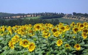 Sunflowers, Tuscany 2009