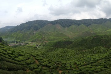 The Cameron Highlands on our Family Travel Adventure
