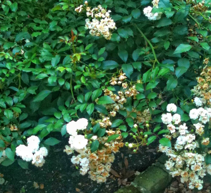 Elizabethan-Gardens-Roanoke-Island-things-to-do-in-the-outer-banks-4