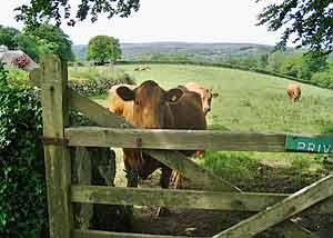 Devon cows