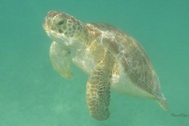 Akumal-Turtle-Bay-Schildkröte