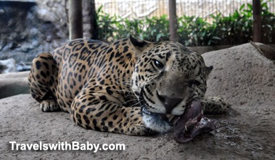 Jaguar eating dinner at the La Paz Waterfall Garden Nature Park, Costa Rica