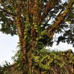 tree-costa-rica