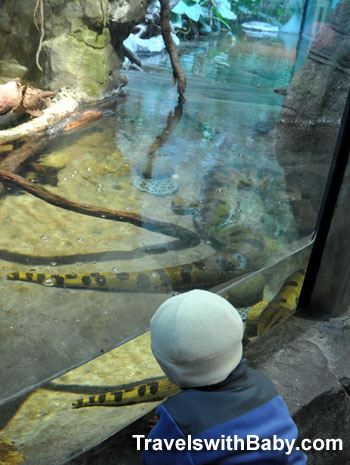 Yellow anaconda at the San Francisco Zoo
