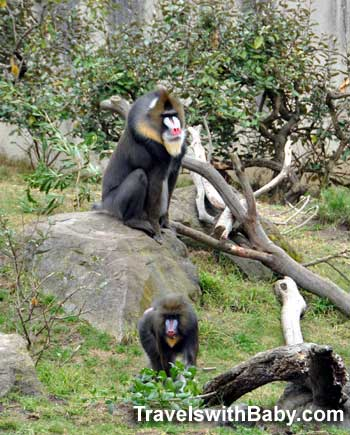 Mandrills never cease to impress at the San Francisco Zoo.