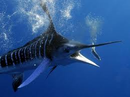 Marlin fishing in Cuba