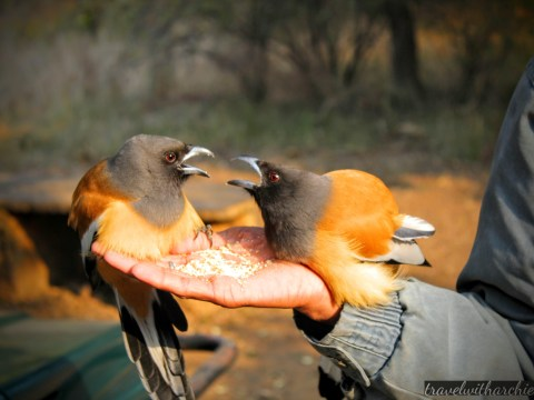 In Conversation: The Treepies in the jungles of Ranthambore