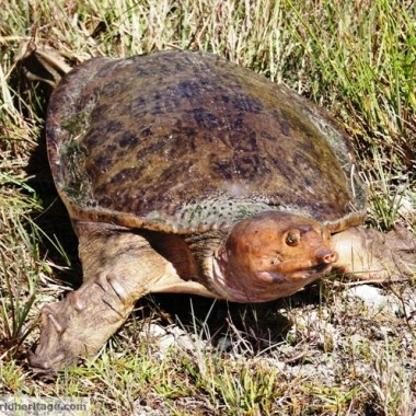 A weird turtle in the Everglades.