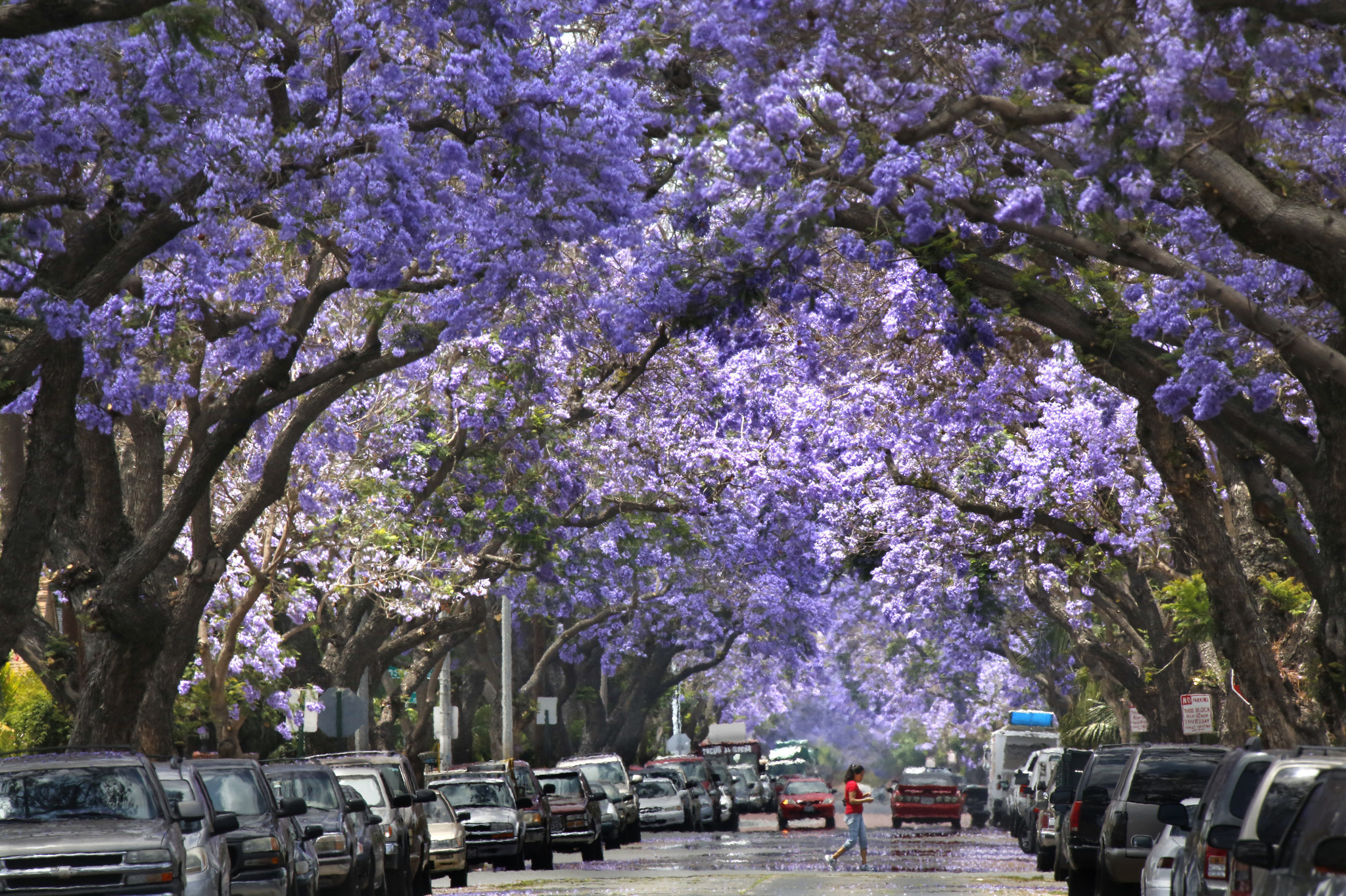 Wallpaper Images Of Fall Trees Lined Lake Jacarandas You Either Love Them Or Hate Them La Times