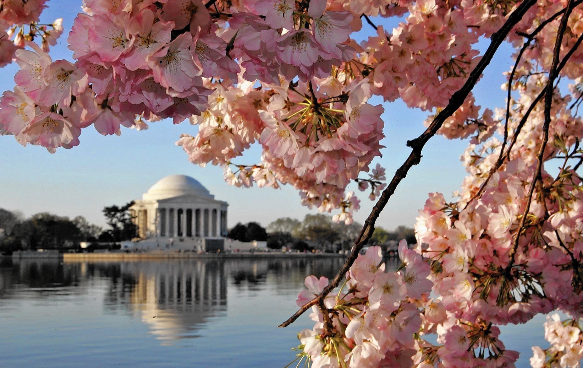 Hd Washington Dc Wallpaper Officials Predict Peak Bloom For D C Cherry Trees