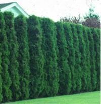 tree free wallpaper: Arborvitae Tree