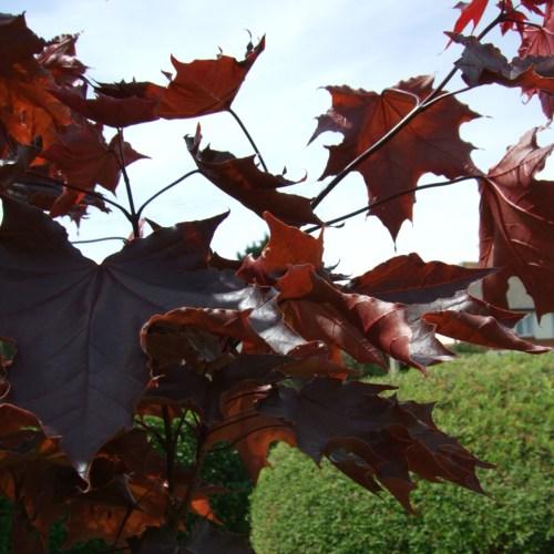 Medium Of Crimson King Maple