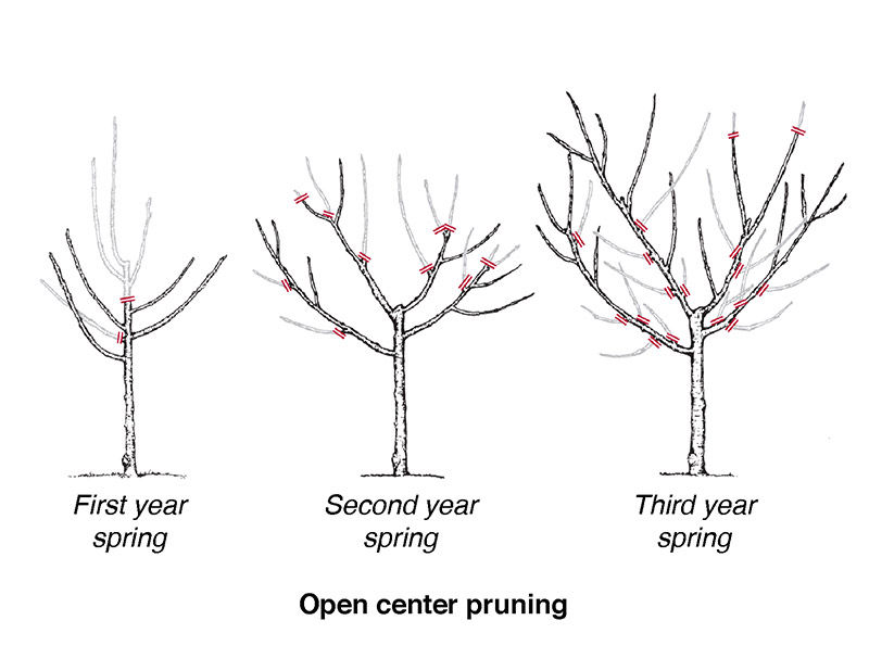 pruning cherry trees diagram