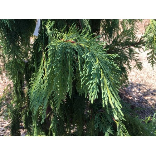 Medium Crop Of Weeping Alaskan Cedar