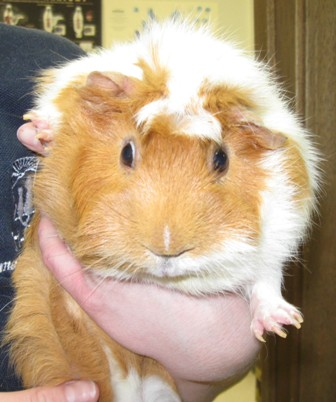Guinea Pig Care - Tri-City Animal  Bird Clinic - Ellisville, MO