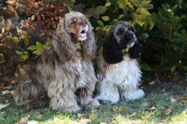 American Cocker Spaniels owned by Susan Cota.