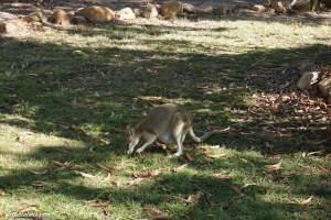 nitmiluk-kangaroo