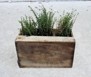 thyme in wooden box