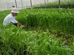 Trồng rau muống cần phải có tuân theo kỹ thuật để tạo nguồn rau sạch