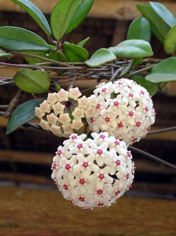 Tên khoa học Hoya carnosa R.Br