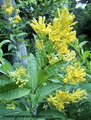 Tên khoa học Cestrum aurantiacum Lindl.
