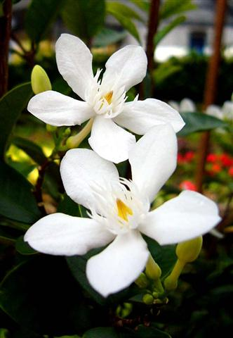 Mai chỉ thiên với những bông hoa trắng 5 cánh hướng thẳng lên trời