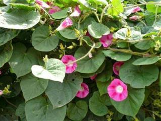 Tên khoa học Argyreia nervosa (Burm.f.) Boi (Argyreia speciosa Sweet)