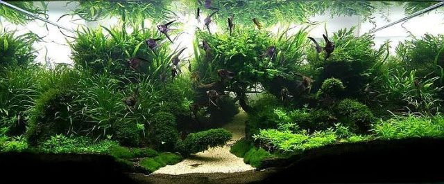 Well Planted Angelfish Tank