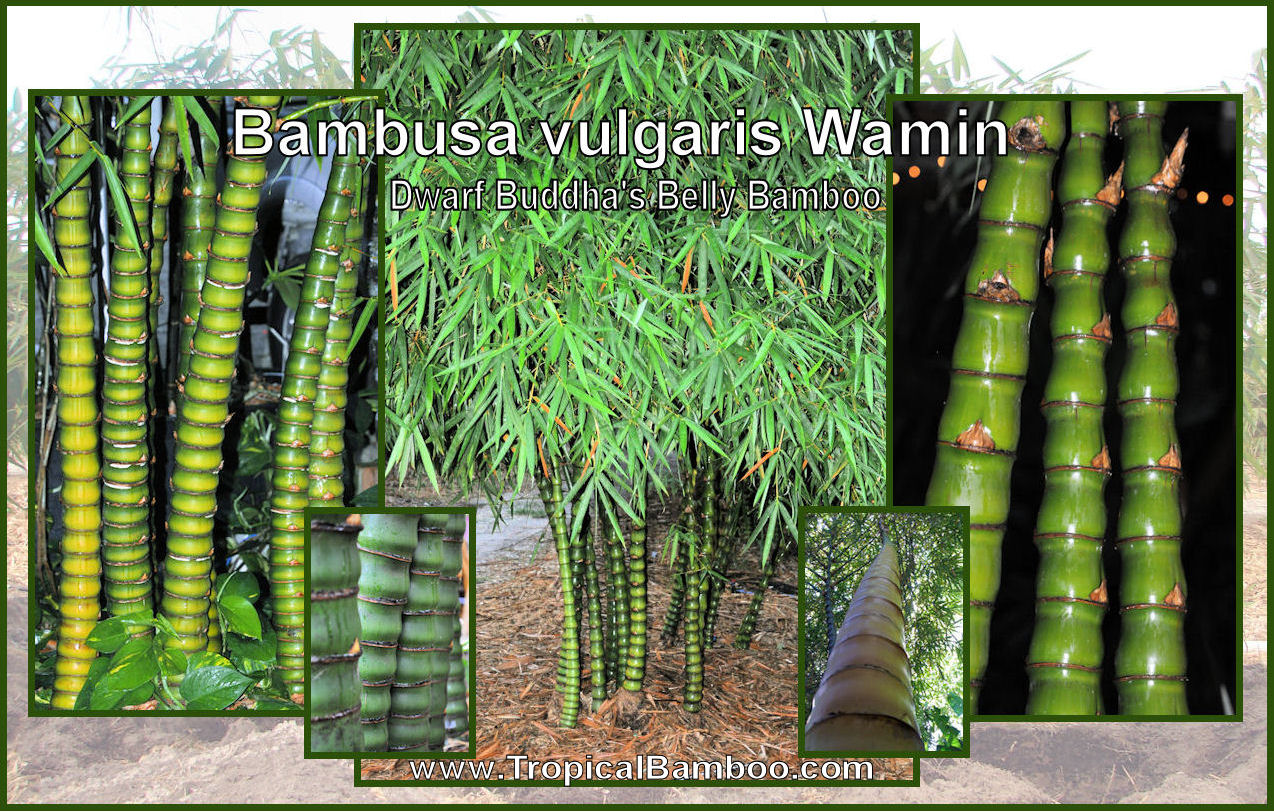 Fullsize Of Buddha Belly Bamboo