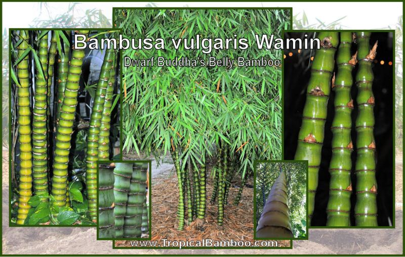 Large Of Buddha Belly Bamboo