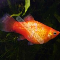 tetra fish giving birth - Fish N Tips: Breeds of Fish For Beginners