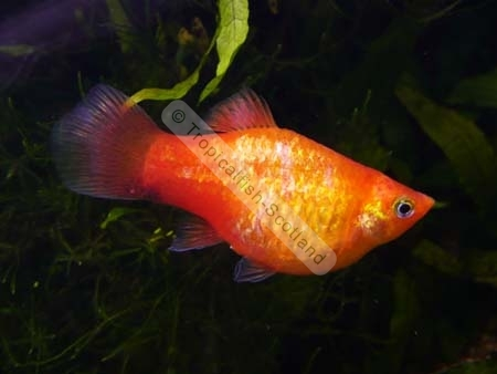 Platy Marigold Neon, Platies   Tropical   Tropicalfish Scotland