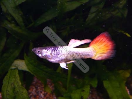 Neon Flame Tail,    Tropical   Tropicalfish Scotland