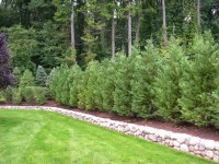 Backyard Privacy Trees