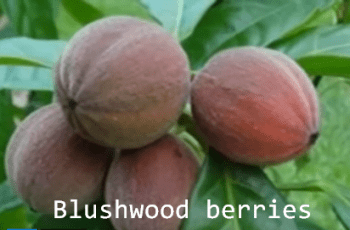 Blushwood berries fight cancer