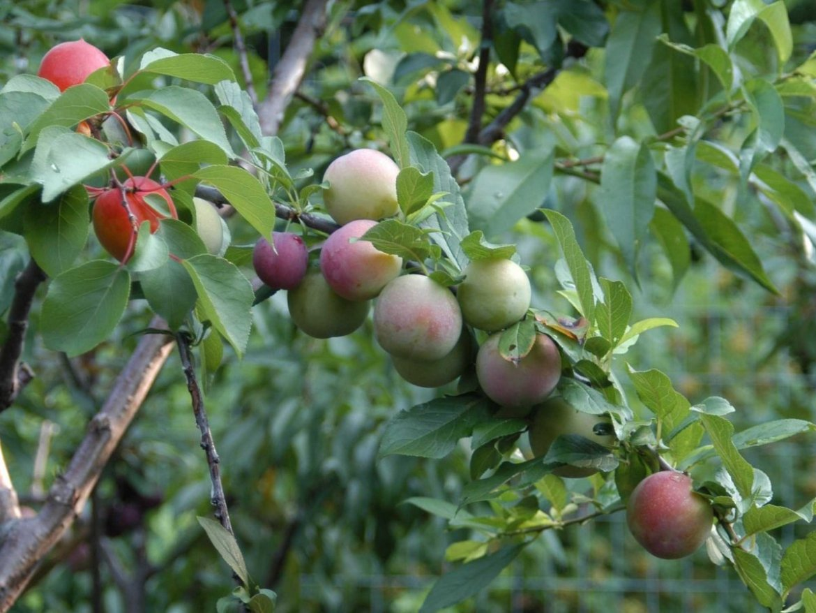 tree-of-40-fruits