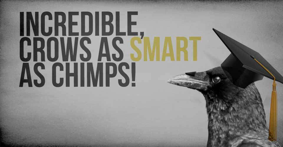 Crows as Smart as Chimps