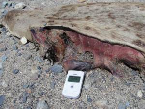 This dead sea lion showed extremely high levels of radiation near its heart and liver. The Pacific Ocean is dying at an alarming rate, and no one seems to notice it, or, they simply put on the blinders and embrace abject denial.