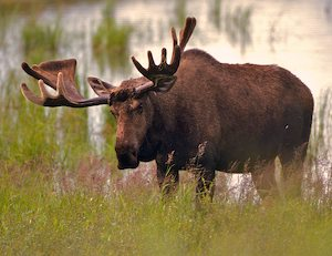 Image For Moose Hunting In Newfoundland Prices