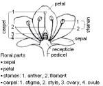 Hibiscus Flower Longitudinal Section