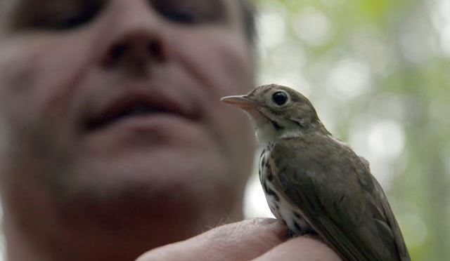 Preview: SongbirdSOS examines declining numbers of feathered friends