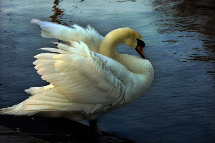 The Wild Swans I Did Love to Fly