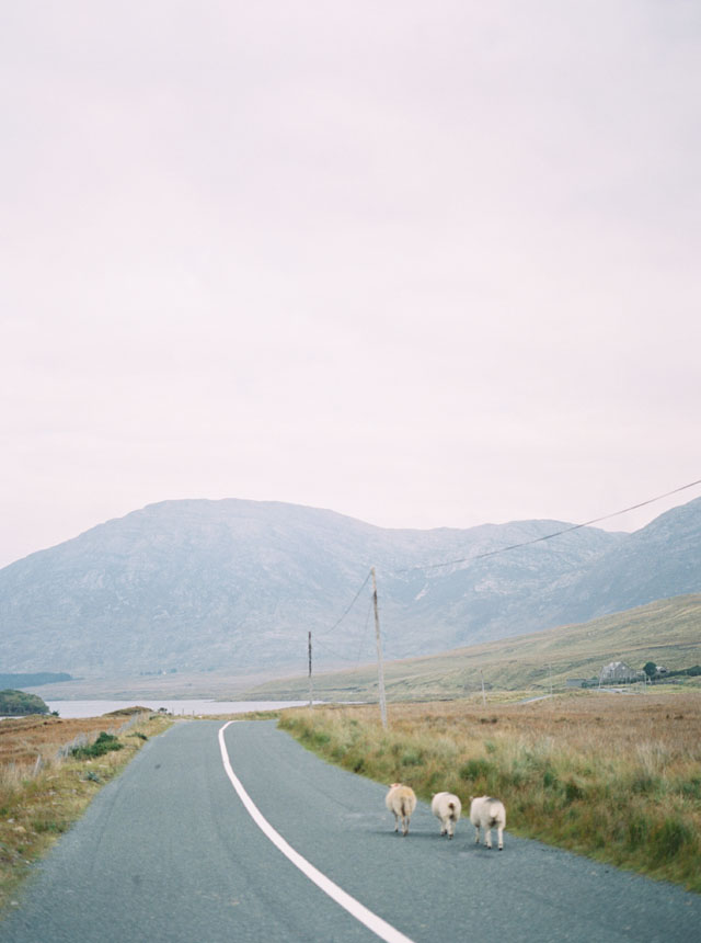 ireland sheep film photography