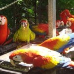 Help Save the Macaws with Two Weeks in Costa Rica