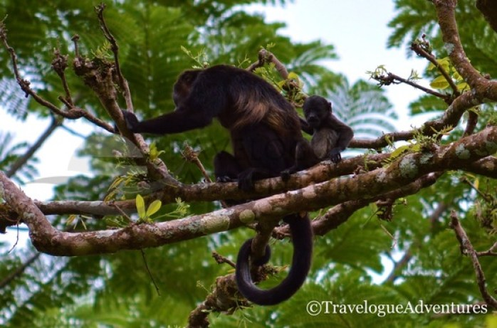 Diria National Park Howler Monkey and Baby