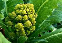 Romanesco broccoli - a beautiful equation at Tyrant Farms