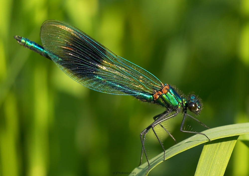 Dragonfly - captured by Kevin Lewis